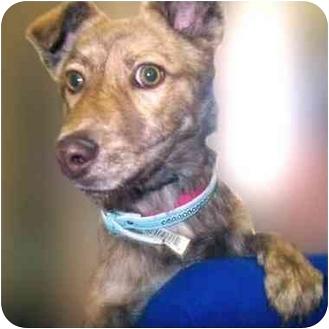 German Shepherd Dog/Australian Shepherd Mix Dog for adoption in San Clemente, California - DARBY = 8 mo. old Herding Dog