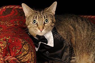 Domestic Shorthair Cat for adoption in mishawaka, Indiana - Solo