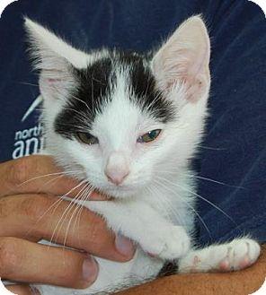 Domestic Shorthair Kitten for adoption in Brooklyn, New York - Felix