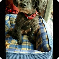 Poodle (Miniature) Mix Dog for adoption in Fallston, Maryland - Pierre
