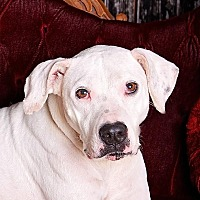 Pit Bull Terrier/Dogo Argentino Mix Dog for adoption in Cincinnati, Ohio - Ashling - $20 Reduced Fee