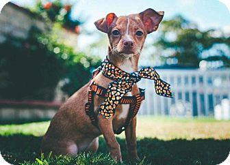 Chihuahua Mix Puppy for adoption in Newport Beach, California - Ariel