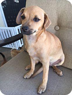 Chihuahua Mix Puppy for adoption in San Diego, California - Tara