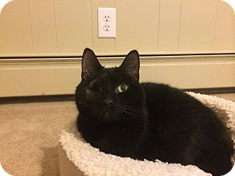 Domestic Shorthair Cat for adoption in North Wilkesboro, North Carolina - Midnight