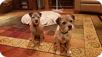 Border Terrier Dog for adoption in Mount Gilead, Ohio - Lucy & Ricky