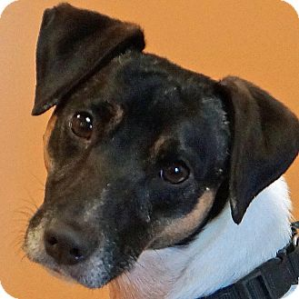 Jack Russell Terrier/Rat Terrier Mix Dog for adoption in Sprakers, New York - Mia