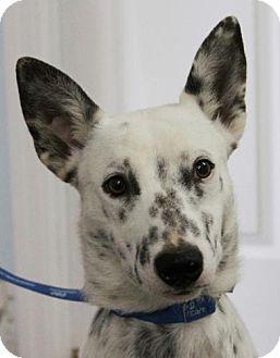 Blue Heeler Mix Dog for adoption in Harrisonburg, Virginia - Spuds