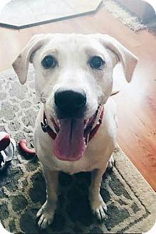 Pointer/Hound (Unknown Type) Mix Dog for adoption in Huntley, Illinois - Ben