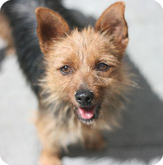 Australian Terrier Dog for adoption in Canoga Park, California - Penny