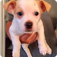 Adopt A Pet :: Versace (V) - Santa Ana, CA