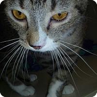 Adopt A Pet :: Tabby Renny - Hamburg, NY