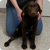 Adopt A Pet :: FEMALE CHOCOLATE LAB - WOODSFIELD, OH