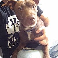 Adopt A Pet :: Bingo - Jackson, MI