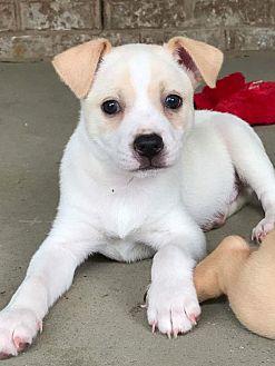 Boston Terrier Mix Puppy for adoption in Albertville, Minnesota - Kilo