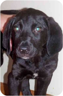Labrador Retriever/Hound (Unknown Type) Mix Puppy for adoption in Plainfield, Illinois - Marshall