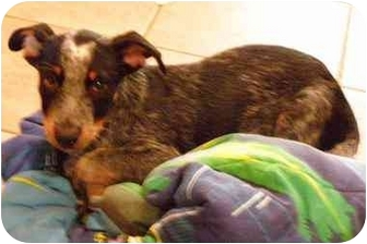Australian Cattle Dog Mix Puppy for adoption in Cocoa, Florida - Sydney