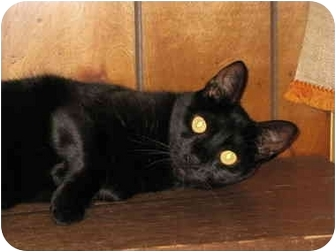 Domestic Shorthair Cat for adoption in Bloomsburg, Pennsylvania - Solo