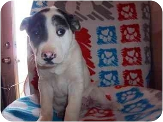 Australian Cattle Dog Mix Puppy for adoption in Westminster, Colorado - Arial
