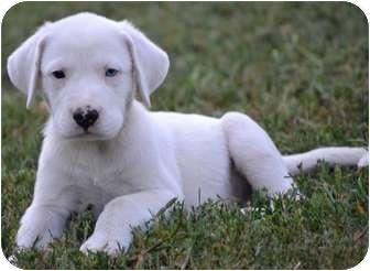 Labrador Retriever/Pointer Mix Puppy for adoption in Harrisonburg, Virginia - Skipper