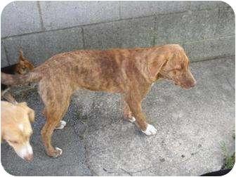 Mountain Cur/Labrador Retriever Mix Puppy for adoption in Salem, New Hampshire - Loretta