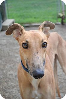 Greyhound Dog for adoption in Chagrin Falls, Ohio - Dirk (Where's Ooh Wee)