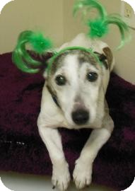 Jack Russell Terrier Mix Dog for adoption in Gary, Indiana - Butchie