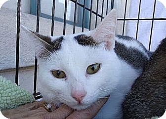 Domestic Shorthair Cat for adoption in Berkeley, California - Balou