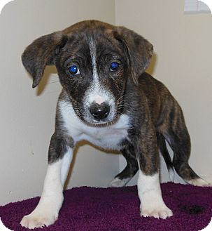 Collie Mix Puppy for adoption in Gary, Indiana - Pesto
