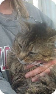Maine Coon Cat for adoption in Cleveland, Ohio - Christopher