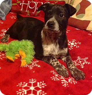 Labrador Retriever/Border Collie Mix Puppy for adoption in Chattanooga, Tennessee - Tippi