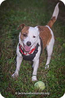 Jack Russell Terrier Mix Dog for adoption in Conyers, Georgia - Hunter