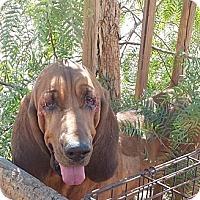 Adopt A Pet :: Stella - Acton, CA