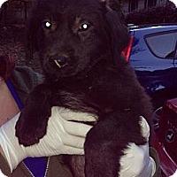 Adopt A Pet :: Sheldon - New Boston, NH
