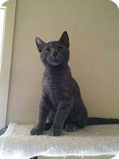 Domestic Shorthair Kitten for adoption in Marietta, Georgia - Olaf