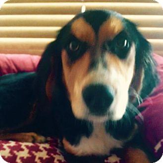 Springer Spaniel/Shepherd (Unknown Type) Mix Puppy for adoption in East Hartford, Connecticut - Mr. Doolittle in CT