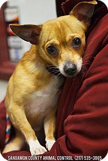 Chihuahua Mix Dog for adoption in Springfield, Illinois - Peanut