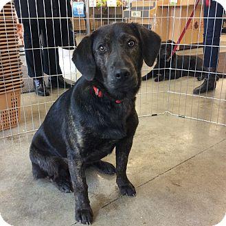 Labrador Retriever Mix Dog for adoption in Sagaponack, New York - Kassie