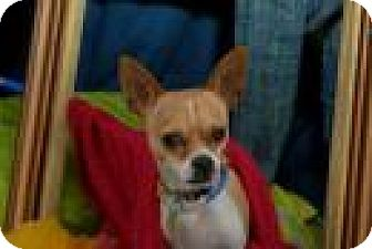 Chihuahua Dog for adoption in San Antonio, Texas - Evee - San Antonio & Austin