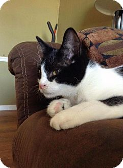 Domestic Shorthair Cat for adoption in Levelland, Texas - The Doctor