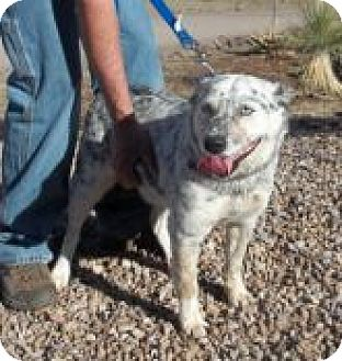 Australian Cattle Dog Mix Dog for adoption in Silver City, New Mexico - Rocco
