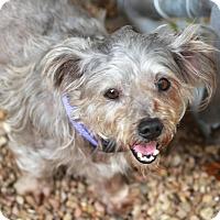 Adopt A Pet :: Tangley - Norwalk, CT