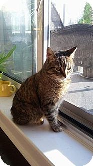 Domestic Shorthair Cat for adoption in THORNHILL, Ontario - Hazel