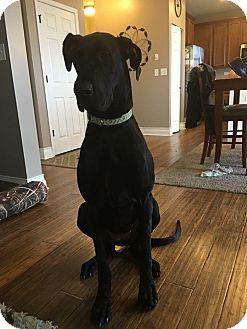 Great Dane Dog for adoption in Oswego, Illinois - Echo