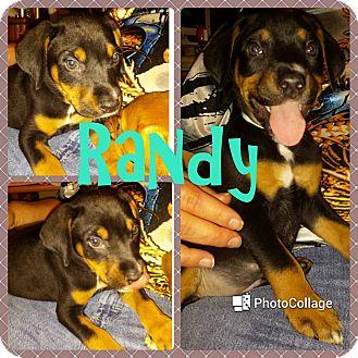 Hound (Unknown Type)/Labrador Retriever Mix Puppy for adoption in Sumter, South Carolina - Randy