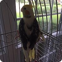 Adopt A Pet :: Jack - St. Louis, MO