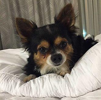 Chihuahua Dog for adoption in Livonia, Michigan - Coco