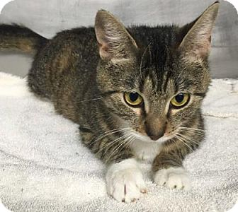 Domestic Shorthair Cat for adoption in Voorhees, New Jersey - Goldie
