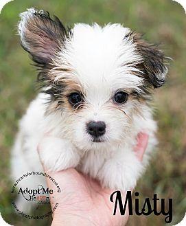 Shih Tzu/Chihuahua Mix Puppy for adoption in Virginia Beach, Virginia - Misty