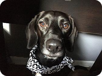 Beagle/Labrador Retriever Mix Dog for adoption in West Palm Beach, Florida - Arrow