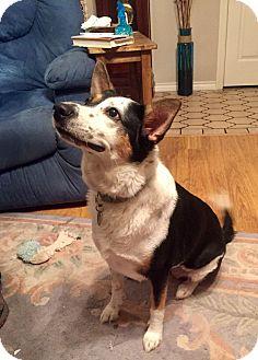 German Shepherd Dog/Australian Shepherd Mix Dog for adoption in Redmond, Washington - Rio